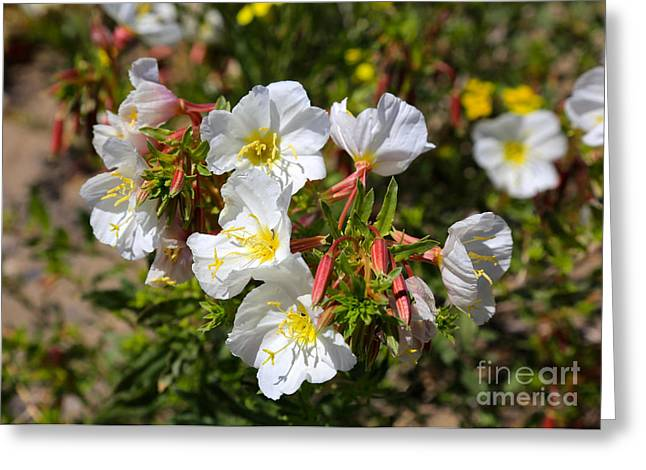 Primroses Greeting Cards - Wildflowers - Pale Evening Primrose Greeting Card by Carol Groenen