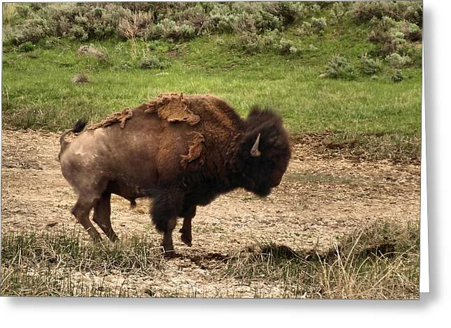Furious Greeting Cards - Wildlife-Angry Bison Greeting Card by Dan Sproul