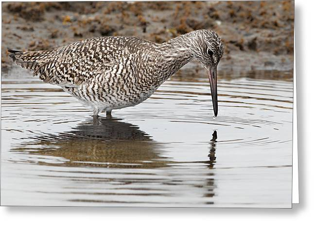 Willet Greeting Card by Bill Wakeley