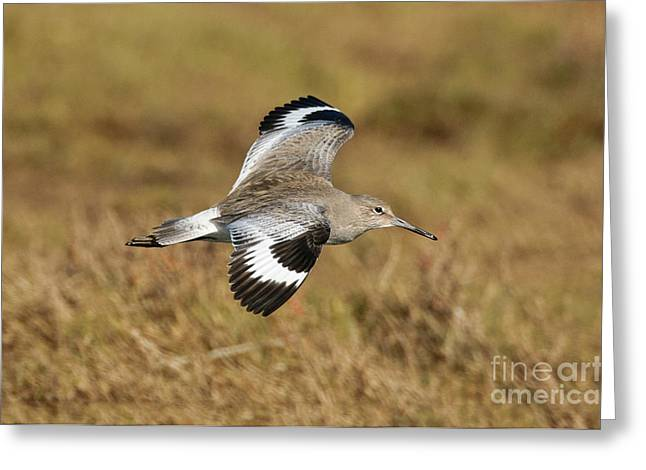 Fly In Greeting Cards - Willet In Flight Greeting Card by Anthony Mercieca