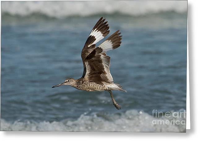Fly In Greeting Cards - Willet In Flight Showing Wing Molt Greeting Card by Anthony Mercieca