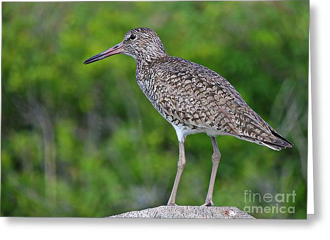 Mud Nest Greeting Cards - Willet Shorebird Greeting Card by Marcia Lee Jones