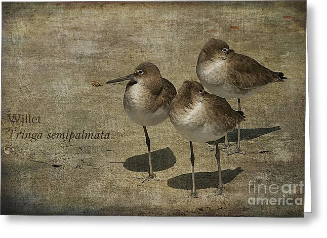 Trio Greeting Cards - Willets Greeting Card by Cindi Ressler