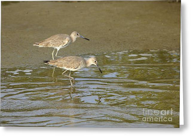 South Padre Island Texas Greeting Cards - Willets Feeding at Waters Edge Greeting Card by Louise Heusinkveld