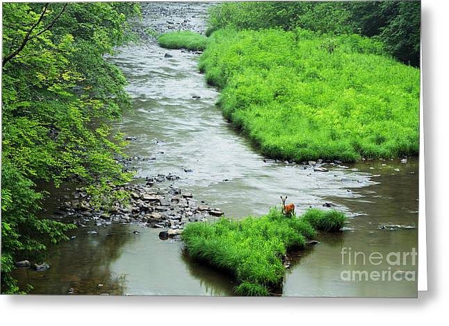 Trout Stream Landscape Greeting Cards - Williams River Summer Doe Greeting Card by Thomas R Fletcher