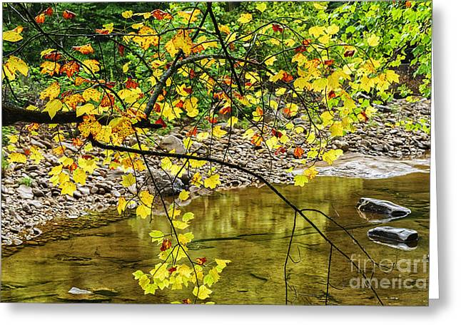 Trout Stream Landscape Greeting Cards - Williams River Tulip Poplar Greeting Card by Thomas R Fletcher