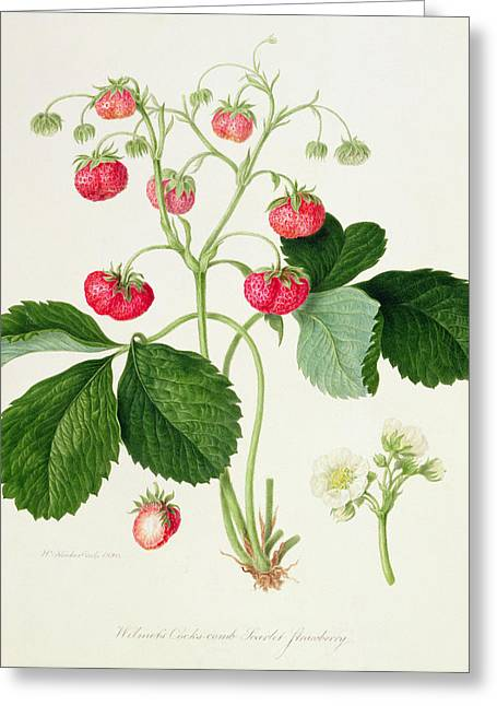 Strawberry Paintings Greeting Cards - Wilmots Cocks Comb Scarlet Strawberry Greeting Card by William Hooker
