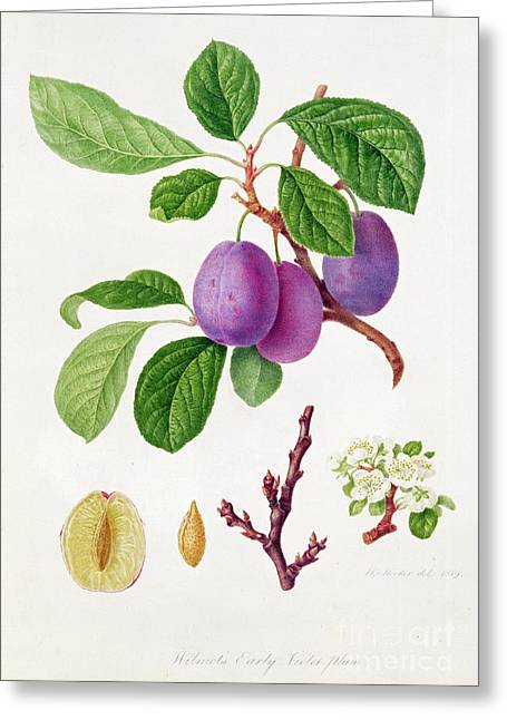 Plum Blossoms Greeting Cards - Wilmots Early Violet Plum Greeting Card by William Hooker