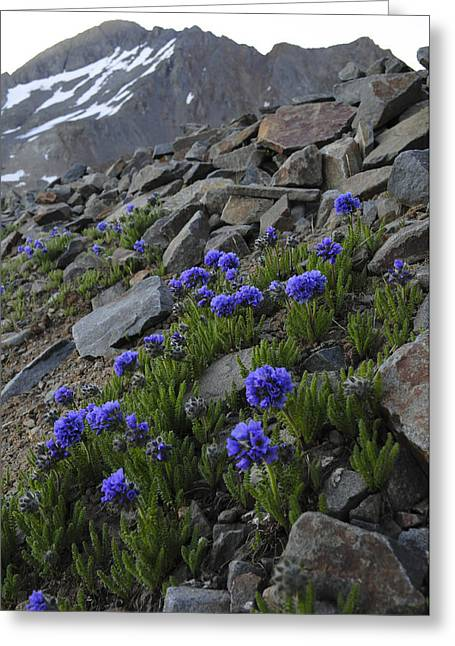 Wilson Peak Wildflowers Greeting Card by Aaron Spong