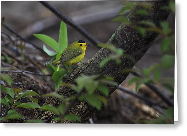 Wood Warbler Greeting Cards - Wilsons Warbler Greeting Card by Gary Hall