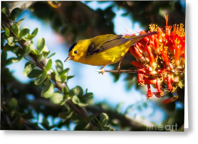 Haybales Greeting Cards - Wilsons Warbler Greeting Card by Robert Bales