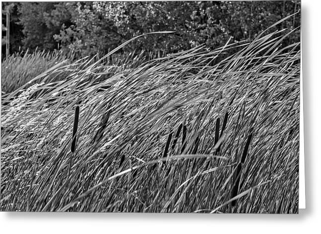 Bulrushes Greeting Cards - Wind in the Cattails monochrome Greeting Card by Steve Harrington