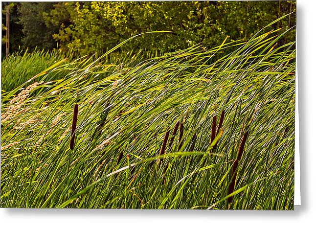 Bulrushes Greeting Cards - Wind in the Cattails Greeting Card by Steve Harrington