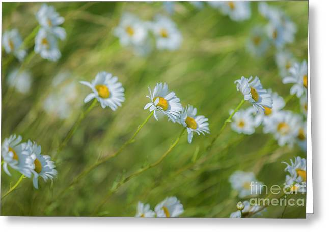 Windy Greeting Cards - Wind in the Daisies Greeting Card by Diane Diederich