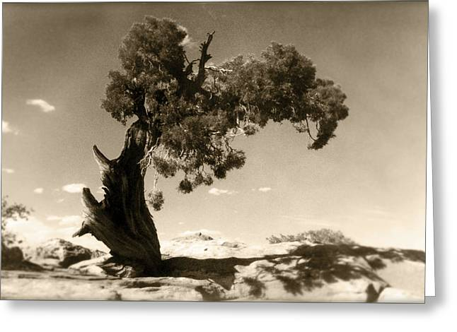 Cedar Trees Greeting Cards - Wind Swept Tree Greeting Card by Scott Norris
