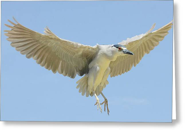 Crowned Heron Greeting Cards - Windfall Greeting Card by Fraida Gutovich