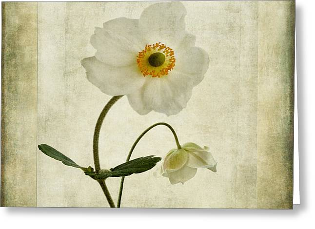 Close Focus Floral Greeting Cards - Windflowers Greeting Card by John Edwards