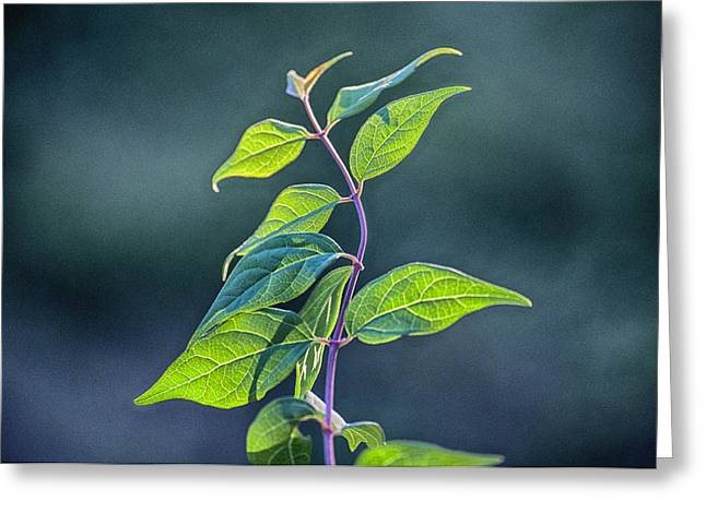 Plant Life Digital Greeting Cards - Winding Leaves Greeting Card by Ross Powell