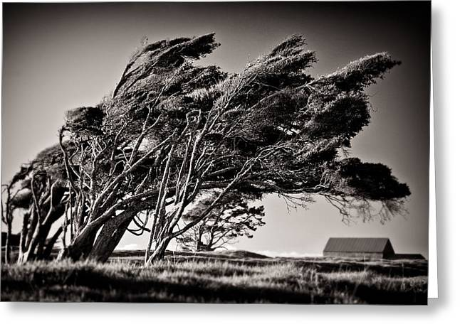 Bent Greeting Cards - Windswept Greeting Card by Dave Bowman
