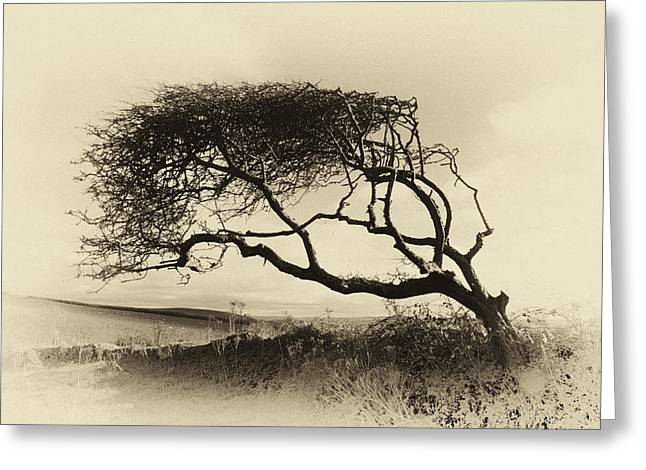 Surfing Photos Greeting Cards - Windswept tree Greeting Card by Dave Wilkinson