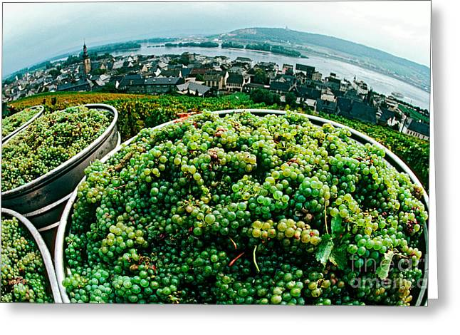 Riesling Greeting Cards - Wine Grapes Greeting Card by James L. Amos