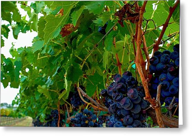 Wine Grapes on the Vine Greeting Card by Kristina Deane