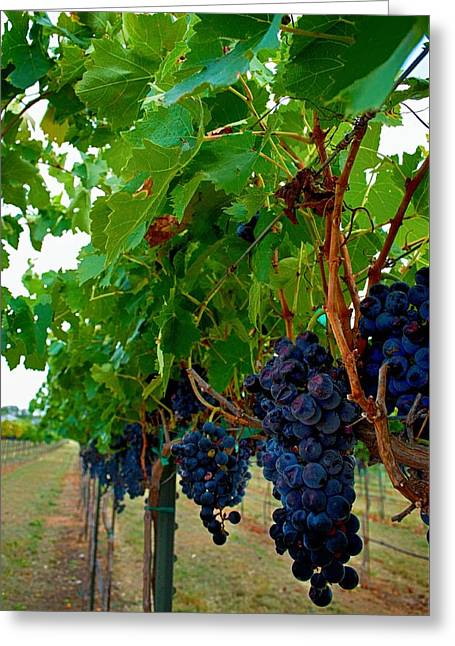 Fruit And Wine Greeting Cards - Wine Grapes on the Vine Greeting Card by Kristina Deane