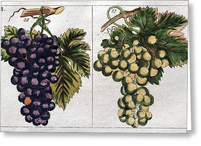 Wine Grapes, Vine, Agriculture, Fruit, Food And Drink Greeting Card by English School