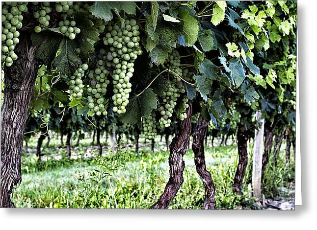 Grape Vine Greeting Cards - Wine Stages Greeting Card by Nomad Art And  Design