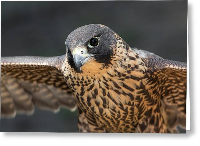 Peregrine Falcon Greeting Cards - Winged Portrait Greeting Card by Dale Kincaid