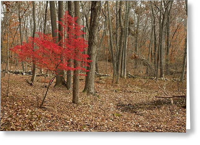 Invasive Species Greeting Cards - Winged spindle tree in woodland Greeting Card by Science Photo Library