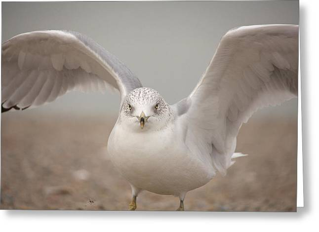 Ring-billed Gull Greeting Cards - Wings Greeting Card by Karol  Livote