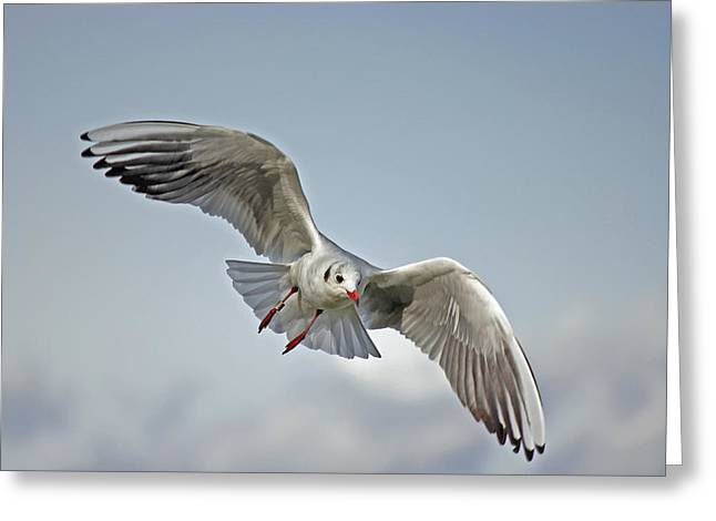 Flying Seagull Greeting Cards - Wings of Grace Greeting Card by Mountain Dreams