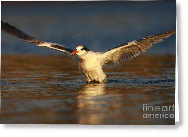 Tern Greeting Cards - Wings of Light Greeting Card by John Tsumas