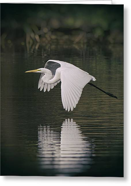 Great White Egrets Greeting Cards - Wings of Reflection  Greeting Card by Saija  Lehtonen