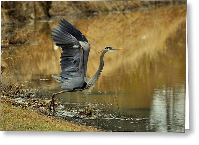 Wings Up Heron - 0993c1963f Greeting Card by Paul Lyndon Phillips