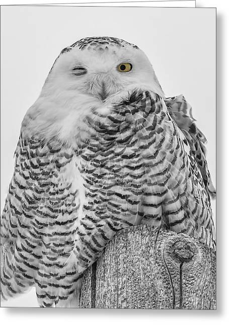 Snowy White Owl Greeting Cards - Winking Snowy Owl Black and White Greeting Card by Thomas Young