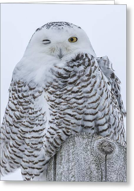 Glowing Eyes Greeting Cards - Winking Snowy Owl Greeting Card by Thomas Young