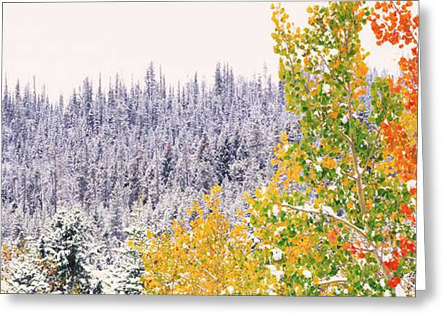 Colorful Photography Greeting Cards - Winter, Aspens, Usa Greeting Card by Panoramic Images