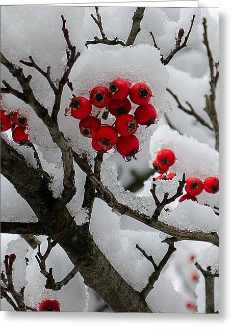 Berry Pyrography Greeting Cards - Winter Berry Bunch  Greeting Card by Crystal Crist