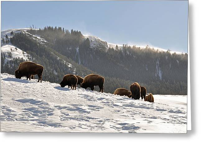 Bison Photos Greeting Cards - Winter Bison Herd in Yellowstone Greeting Card by Bruce Gourley