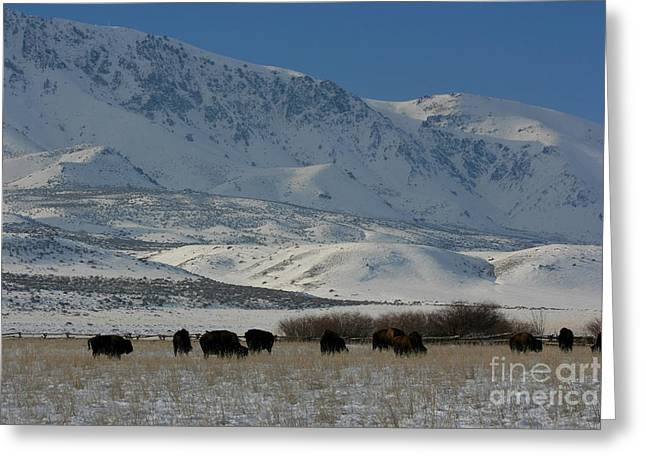 Grazing Snow Greeting Cards - Winter Bison Herd Greeting Card by Marty Fancy