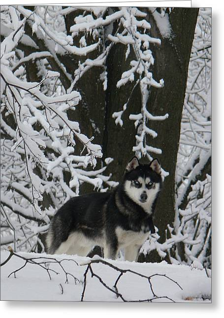 Dog In Snow Greeting Cards - Winter Blue Eyes Greeting Card by Natalie LaRocque
