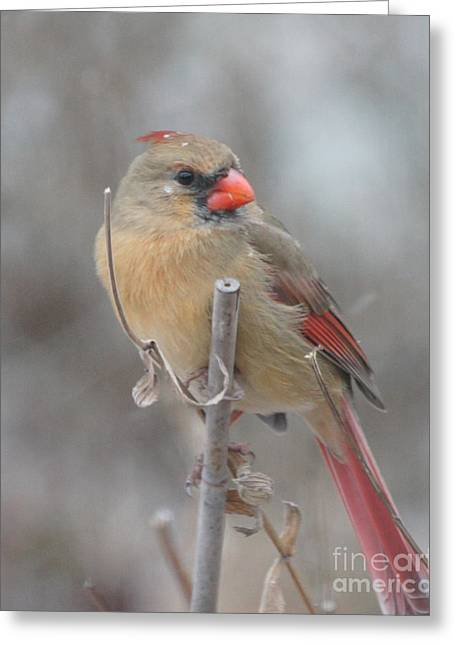 Reflections Of Infinity Llc Greeting Cards - Winter Cardinal - Female Greeting Card by Robert E Alter Reflections of Infinity
