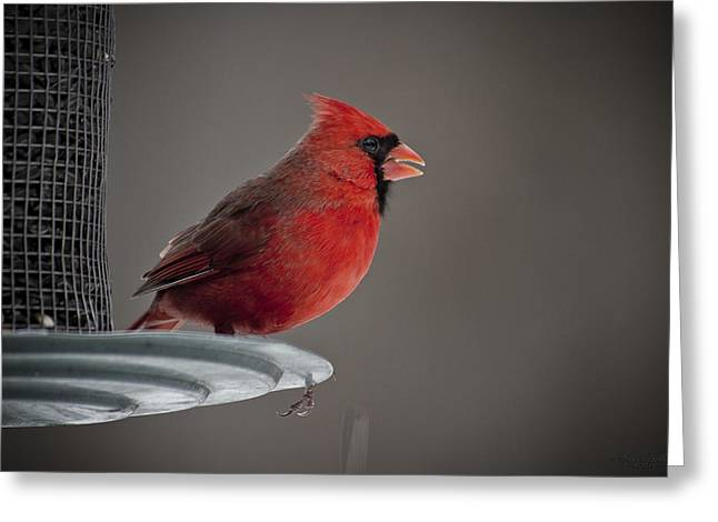 Photos With Red Greeting Cards - Winter Cardinal  Greeting Card by Hope Ozolins