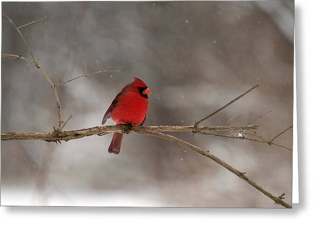 Mendon Greeting Cards - Winter Cardinal Greeting Card by Joshua House