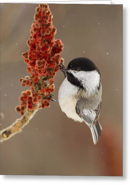 Bulrushes Greeting Cards - Winter Chickadee Greeting Card by Mircea Costina Photography