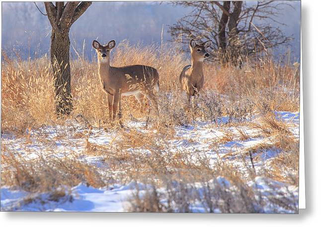 Grazing Snow Greeting Cards - Winter Deer Greeting Card by Jill Van Doren Rolo