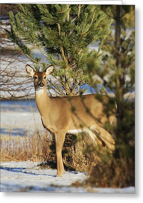 Does. Winter Greeting Cards - Winter Doe Greeting Card by Michael Byrnes