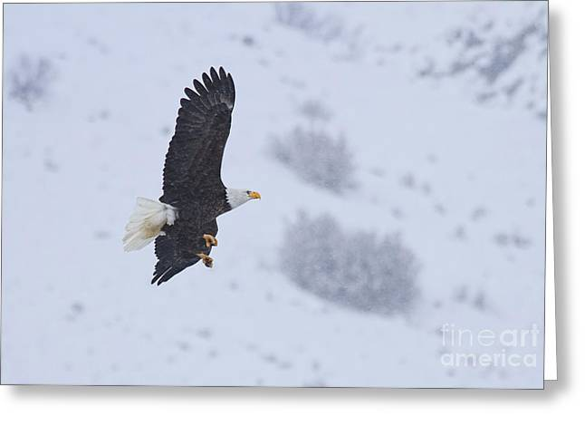 National Symbol Greeting Cards - Winter Flight Greeting Card by Mike  Dawson